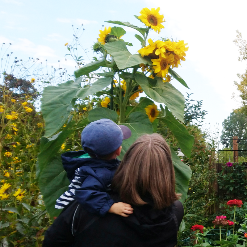 A woman holds a toddler up to look at a tall sunflower in the garden